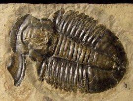 Fossilien - Asaphiscus - Trilobiten - FossNet
