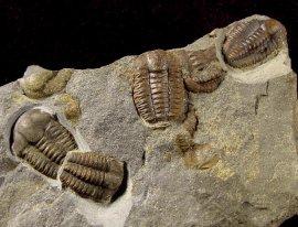 Fossilien - Ellipsocephalus - Trilobiten - FossNet
